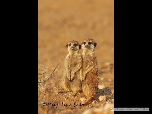 Young Meerkats very close to sunset.