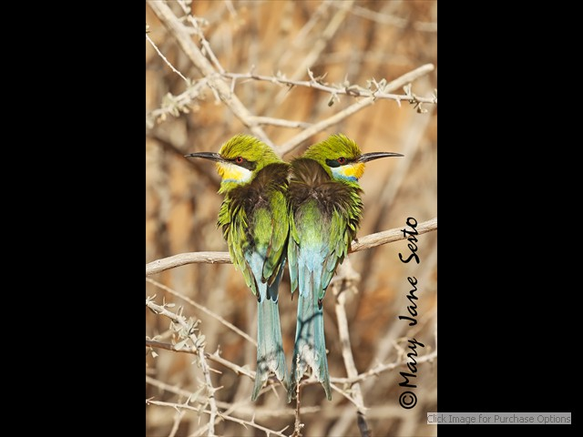 Heart shaped Swallow-tailed Bee-eaters