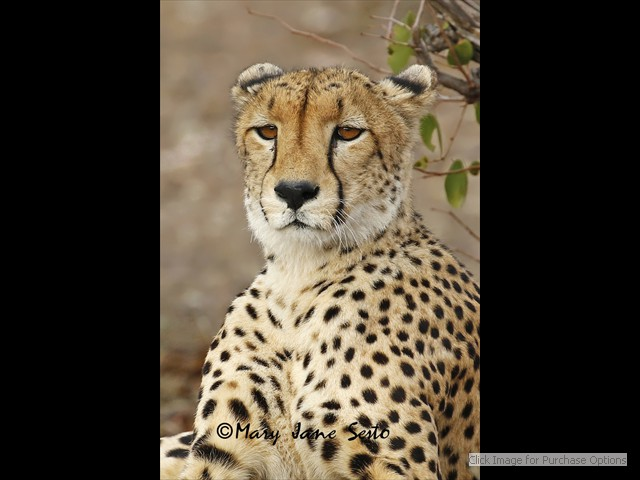 Male Cheetah close up