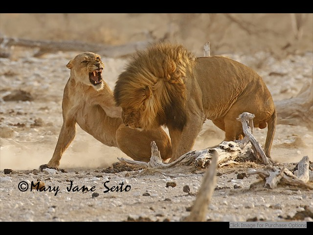 Mating Lions, having a disagreement