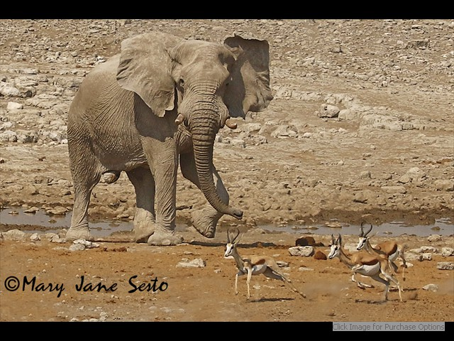 Bull Elephant chasing Springbok at a waterhole