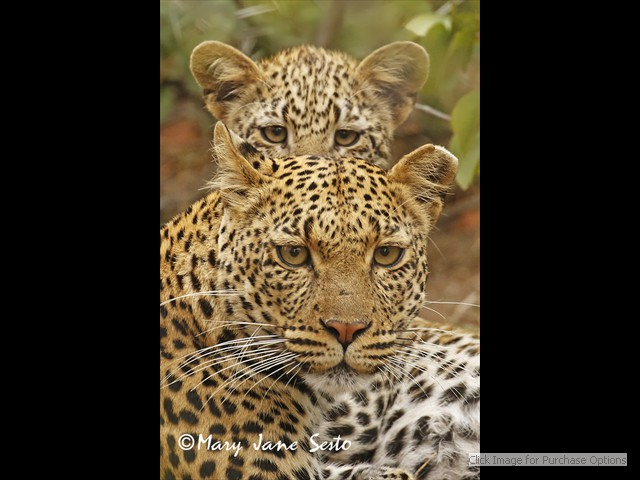 Mother and daughter Leopard
