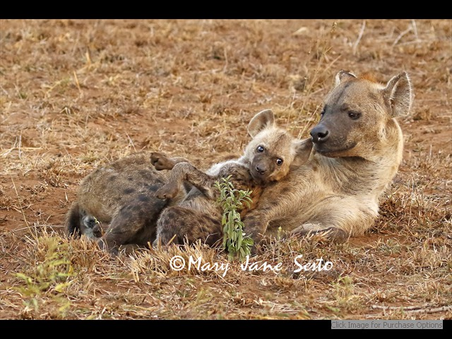 Mother and youngster Hyena